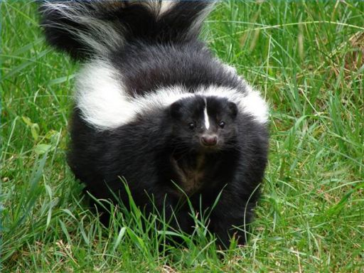 Skunk in yard